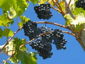 Grapes for PA Fruit Festival