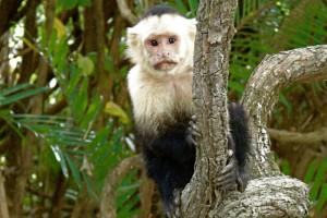 A small white-faced monkey clutches a tree branch